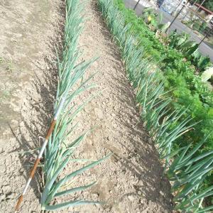 長ねぎを3本試しに収穫。短くて細い。酸欠だったかも
