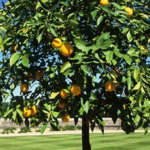 万人から愛される明るい香り「スイートオレンジ」