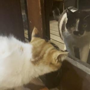 緊急事態【トイレでイキみ中にボス猫さんが来た】