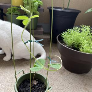 たくましい枝豆の苗。