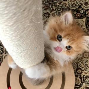 (悲報)子猫にガリガリサークル(爪とぎ)を与えてみましたが・・・