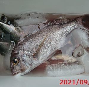 今日の釣りも真鯛が一匹入っています(^O^)/