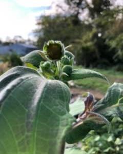 ヤーコンの花