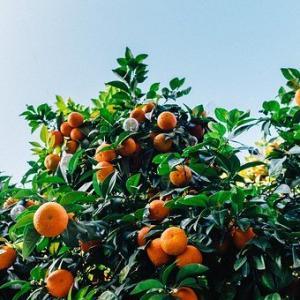 愛媛のみかんのブランドおすすめ3選は?地元民しか食べられない柑橘類も紹介!