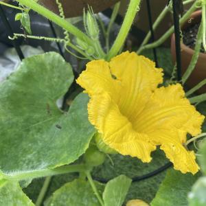 【いつか一緒に②続き】種から育てたDAISOのかぼちゃに雌花が咲きました!
