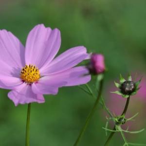 コスモスの花の構造と役割