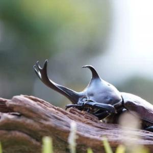 日本のカブトムシとクワガタムシが樹液場で戦うとどっちが勝つの?