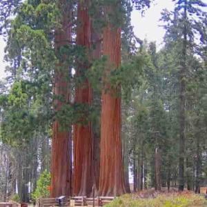 80メートル超の巨木を支える樹木構造とは?