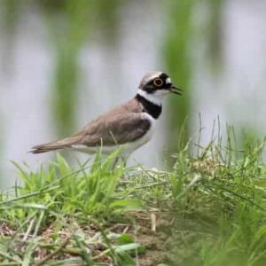 河川敷に作るコチドリの巣 シロチドリとイカルチドリの特徴
