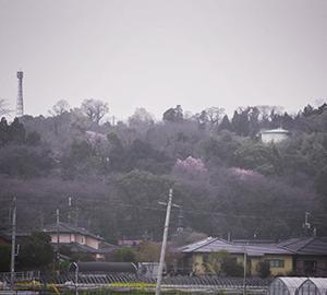 熊本桜と花々2020(1)