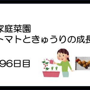 家庭菜園:トマトときゅうりの成長(96日目)