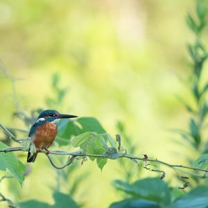 カワセミ ~ 朝の鳥見 ~