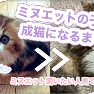 ミヌエットの子猫が成猫になるまで♪ミヌエットを飼いたい人は見てね!【2か月から1歳】短足マンチカン×ペルシャ