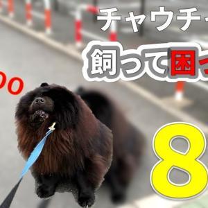 チャウチャウを飼って困った事8選【一人暮らし犬と暮らす】CHOW CHOW