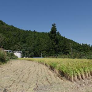 稲刈り、掛け干し