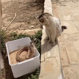 【悲報】猫ちゃん、蛇に襲われる