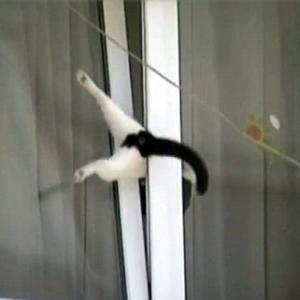 【ねこ】ハメられた!? 二階半開き窓に体を挟まれ必死にもがく白黒猫! 果たして…