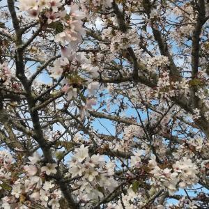 サクラ咲く、テイクアウェイの花も咲く