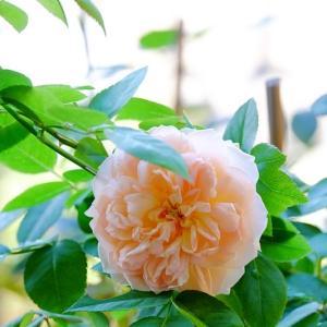 Evelyn 秋の花