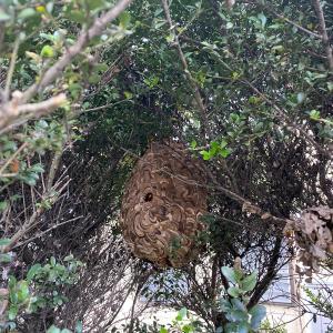 大きな蜂の巣 蜂の巣バスターズ出動!