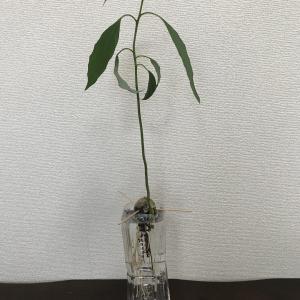 アボガドの種 水栽培から土入れしたよ!