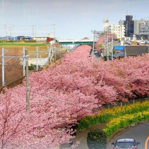 スマホを渡されたら?三浦海岸桜まつり♥神奈川県人気のお花見スポット
