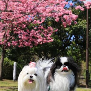山頂公園で緋桜が満開で~す!