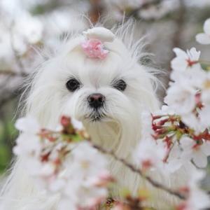 桜のテラスランチとかき氷