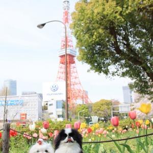 桜を追いかけて・・・東京タワー