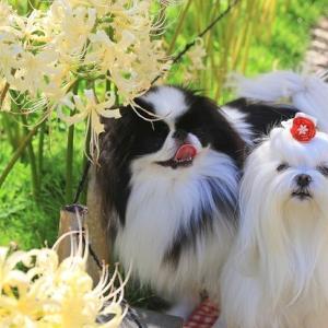 赤白黄色のヒガンバナ咲いた★