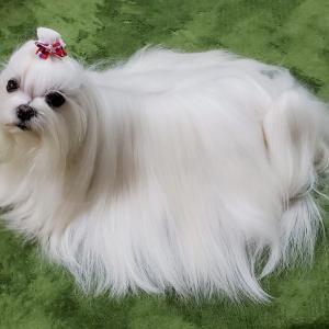 犬の念力♥トリミング好きですか?