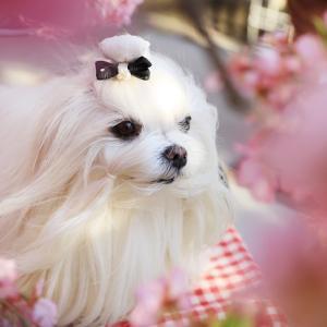 春便り♥三浦の河津桜
