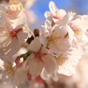 鎌倉生まれ早咲き桜が見ごろになりました♥ふるさと公園