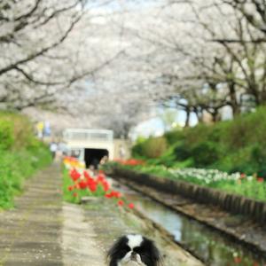 春の小川とチューリップの咲く小路