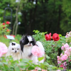 梅雨入り間近♥バラを見に行きたいな