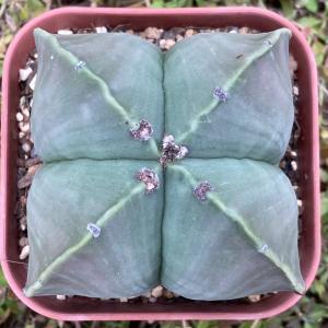 四角い植物