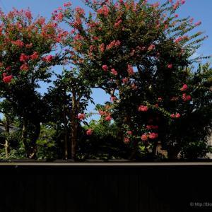 百日紅の咲く庭