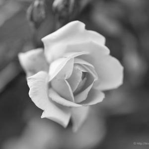 今年最後の薔薇が一輪だけ咲いていた