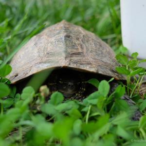 裏庭に亀が来たら骨折したようだ
