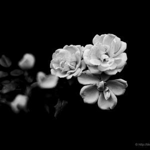 白と黒の薔薇
