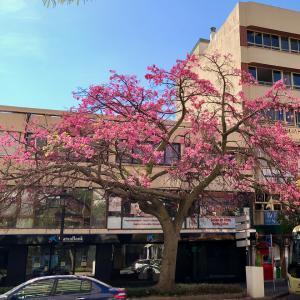 街路樹のトックリキワタ