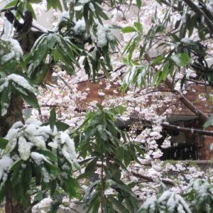 ★桜に雪が・・