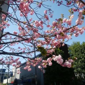 ★美しさに癒される(自由が丘の一本桜)