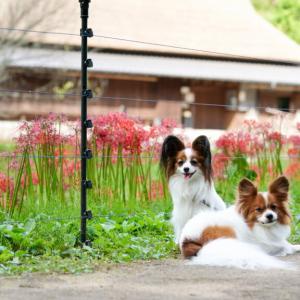 【兵庫】彼岸花を求めてあいな里山公園に行って来ました
