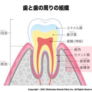 歯医者で良く聞く「歯周組織」って何ですか?