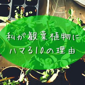 私が観葉植物にハマる10の理由。大変なこと、水栽培についても10ずつ書いてみた!