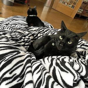 猫もダメにするソファ