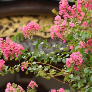 百日紅咲く 鎌倉妙隆寺