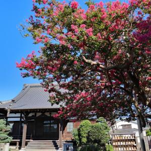 百日紅咲く 鎌倉本興寺