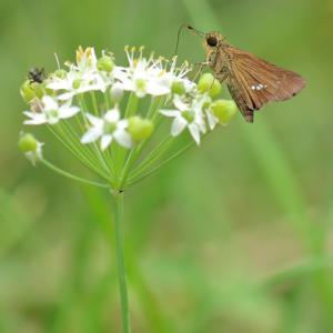韮の花とセセリチョウ